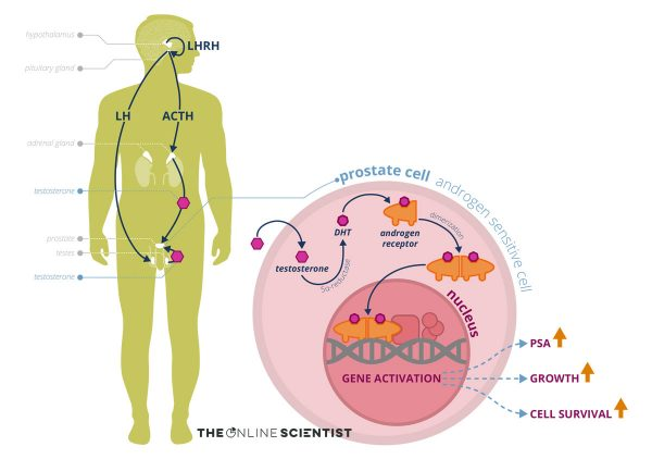 Infographic by The Online Scientist Prostate cancer cell